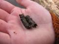 larva chrostíka