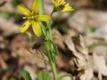 křivatec žlutý (1)