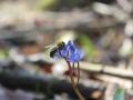 ladoňka karpatská, včela medonosná