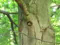 strakapoud velký, dutina s ml. 2