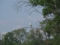 volavka popelavá
