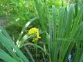 kosatec žlutý