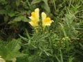lnice květel