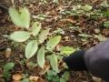 kokořík mnohokvětý, plody