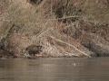prase divoké, morčák velký