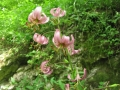 lilie zlatohlavá3